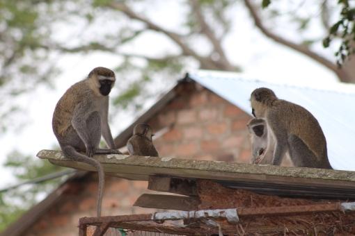 Vervet monkeys at Lake Nabugabo, Uganda