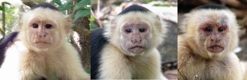 Subordinate subadult, subordinate adult, and alpha adult male white-faced capuchin monkeys (Cebus capucinus).